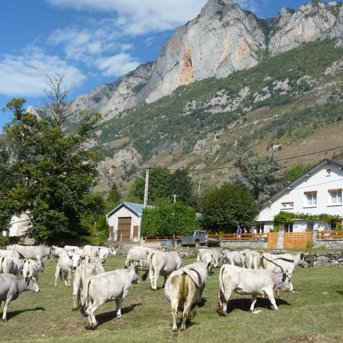 Vaches gasconnes vallée de beille (Ariège)