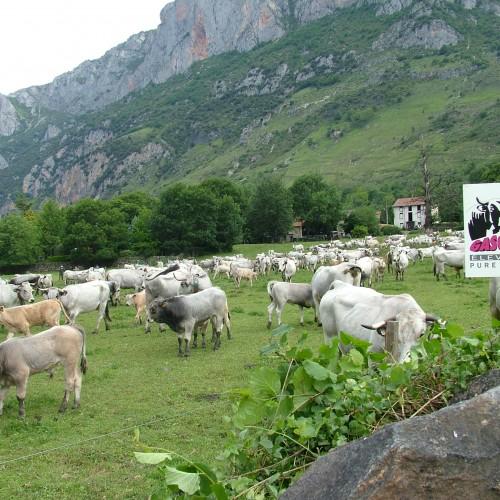 Troupeau vaches gasconnes (ariège)